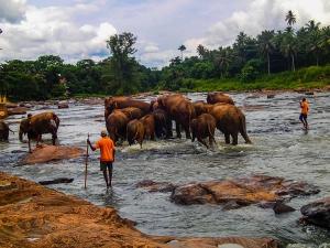sri lanka pinnawala elephant orphange sierociniec dla sloni przemarsz sloni kapiel sloni