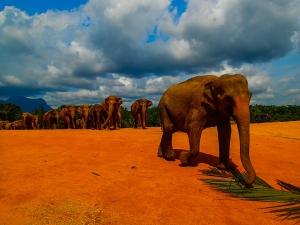 sri lanka pinnawala elephant orphange sierociniec dla sloni przemarsz sloni