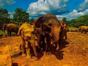 sri lanka pinnawala elephant orphange sierociniec dla sloni