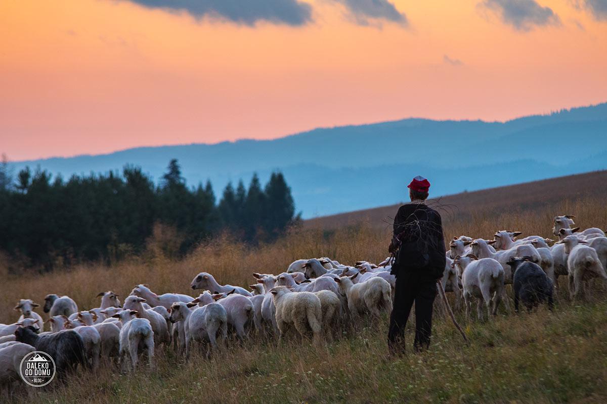 polska 2017 pieniny haluszowa owce zachod slonca gory pasterz