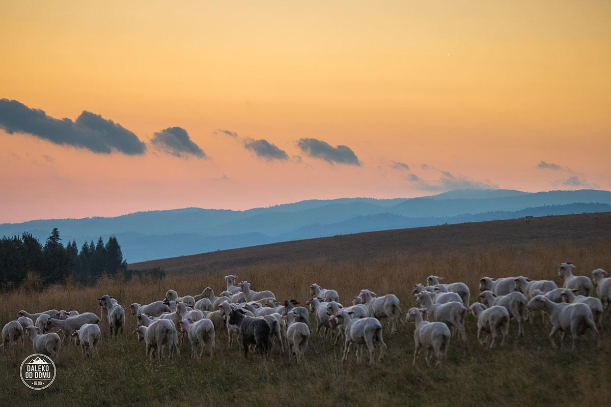 polska 2017 pieniny haluszowa owce zachod slonca gory