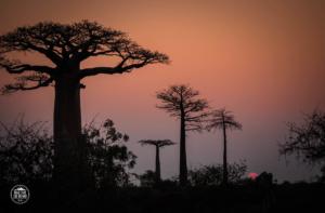 madagaskar madagascar aleja baobabow avenue of the baobabs zachod slonca
