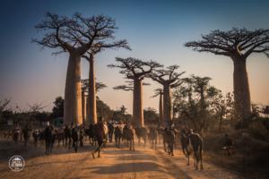 madagaskar madagascar aleja baobabow avenue of the baobabs zebu