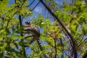 madagaskar madagascar anja community reserve lemur