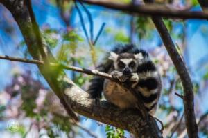 madagaskar madagascar anja community reserve lemur krol julian