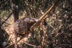 madagaskar madagascar isalo national park lemur