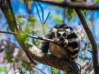 madagascar lemur madagaskar anja reserve thumbnail wpis